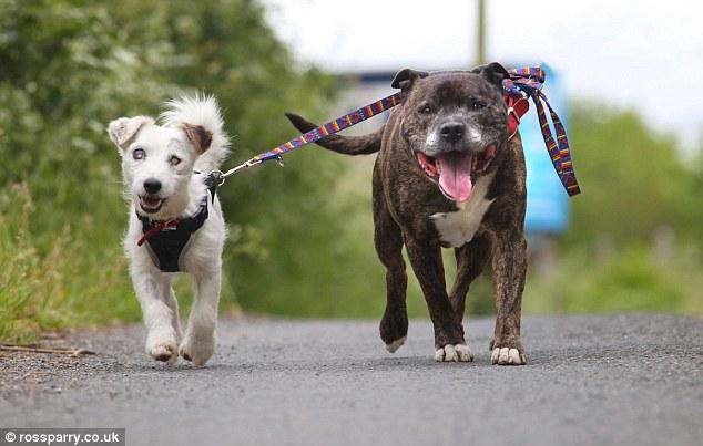 盲目のジャック・ラッセル犬のガイド犬は親友のブルテリア犬
