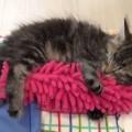 【癒し動画】可愛過ぎる!ぬいぐるみを抱きしめて寝言を言う仔猫の寝姿