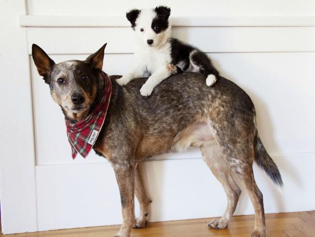 【画像】新しくやってきた仔犬が気に入った先住犬達