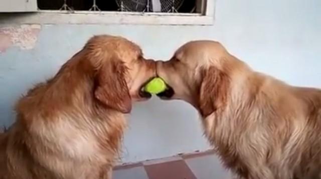 【面白動画】2匹のゴールデンレトリバー犬が1つのボールを取り合っていると。。。