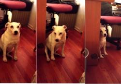 【面白動画】ゴミ箱を荒らした犬の反省の態度が面白過ぎ!