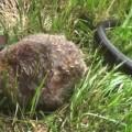【動画】ヘビに子どもを襲われそうになったお母さんウサギがめちゃ強い
