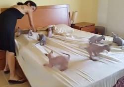 【面白動画】9匹のスフィンクスの仔猫がベッドメイキングのお手伝い