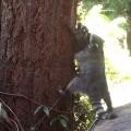 【動画】アライグマのお母さんによる木登り特訓